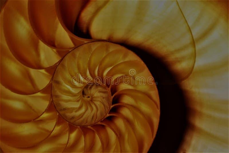 Коэффициент роста структуры спирали поперечного сечения симметрии Фибоначчи раковины Nautilus золотой стоковые изображения