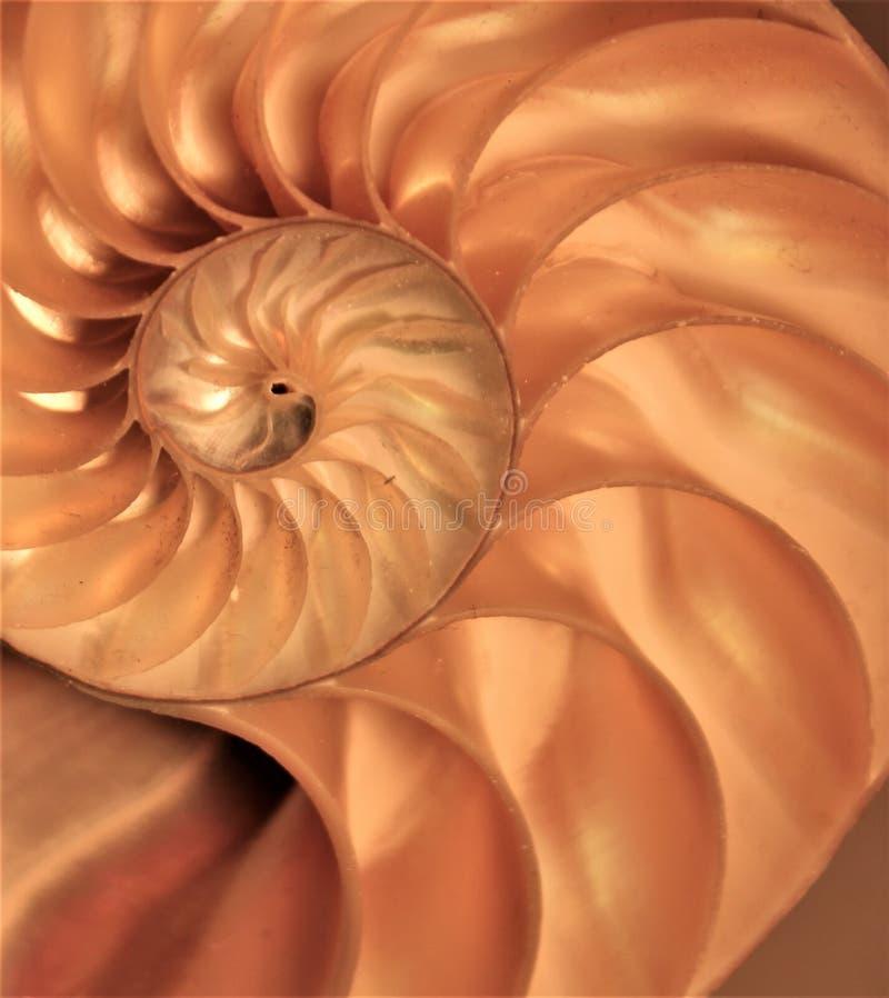 Коэффициент роста структуры спирали поперечного сечения симметрии Фибоначчи раковины Nautilus золотой стоковая фотография rf
