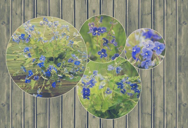 Коллаж пука цветков одичалого леса крошечных голубых Вероника Germander, цветки Speedwell стоковое фото