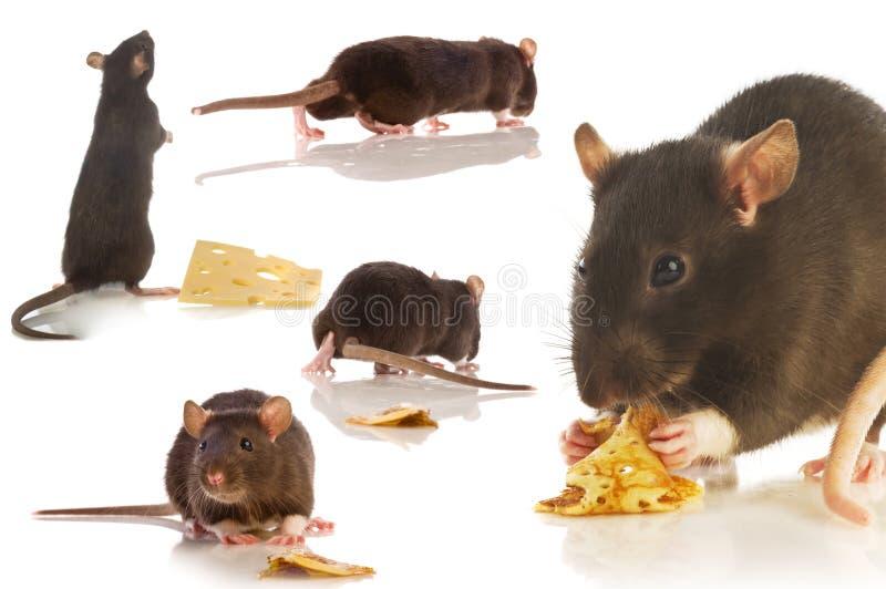 Коллаж черной крысы изолированный стоковое изображение rf