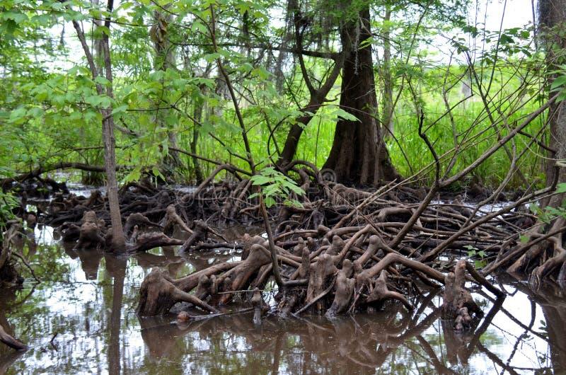 Колени Cypress в заболоченном рукаве реки Луизианы стоковые изображения rf