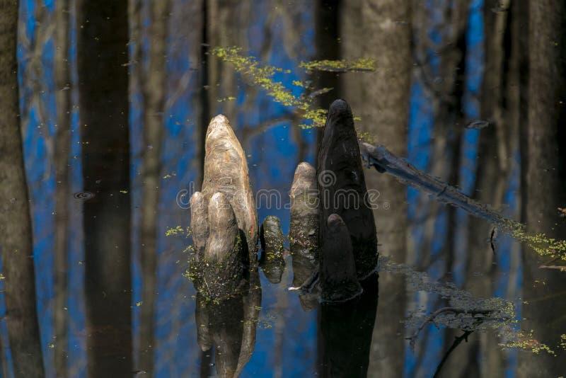 Колени Cypress стоковые фотографии rf