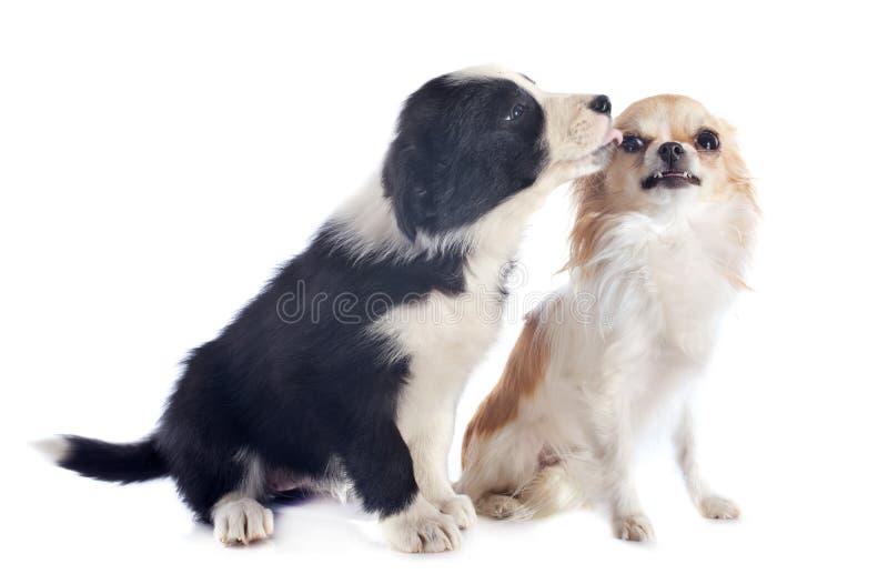 Коллиа границы щенка и сердитый чихуахуа стоковое изображение rf
