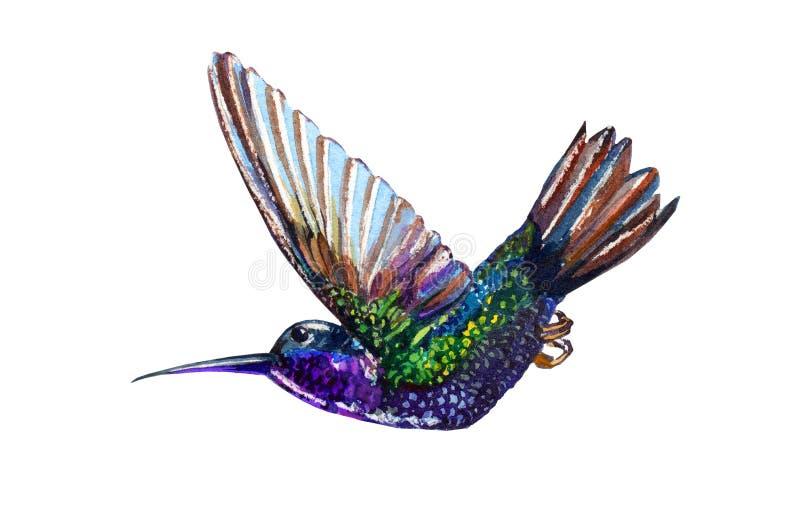 Колибри акварели бесплатная иллюстрация