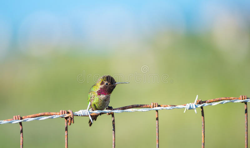 Колибри Анны на загородке стоковые изображения rf