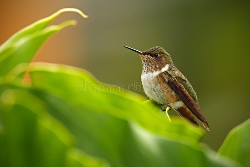 Колибри вулкана, flammula Selasphorus, малая птица в зеленых листьях, животное в среду обитания природы, лес горы троповый, w стоковые фотографии rf