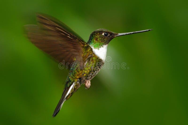 Колибри летания Колибри в зеленом лесе с открытыми крылами Collared Inca, torquata Coeligena, колибри от Mindo для стоковые фотографии rf