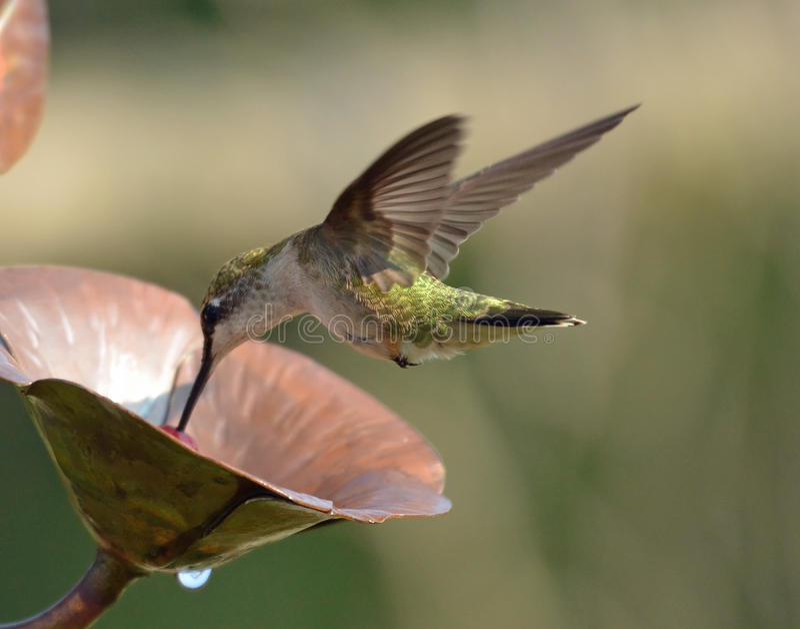 Колибри летания стоковые изображения rf