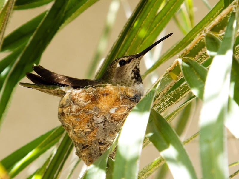 Колибри и гнездо стоковые изображения rf