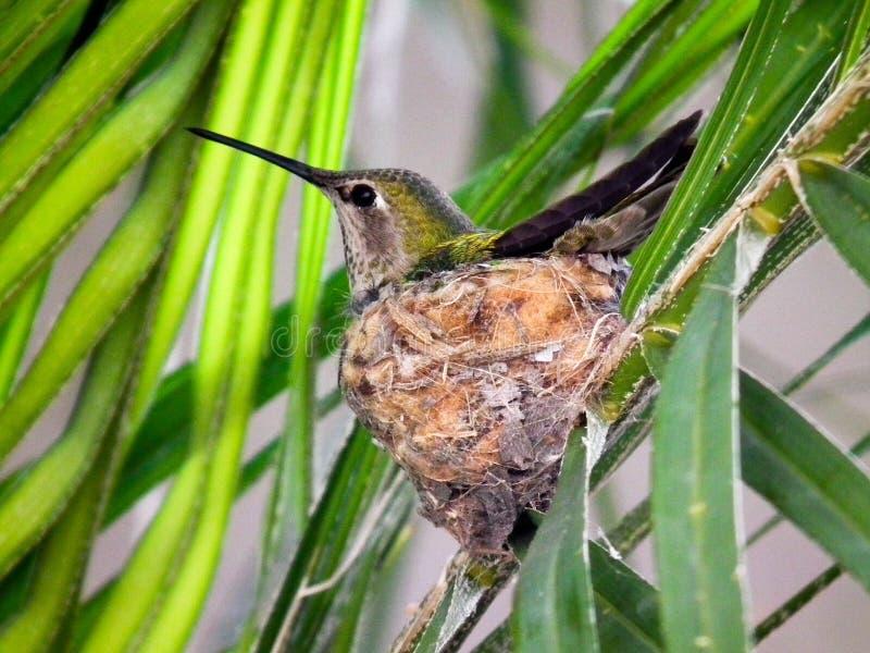 Колибри и гнездо стоковое фото rf