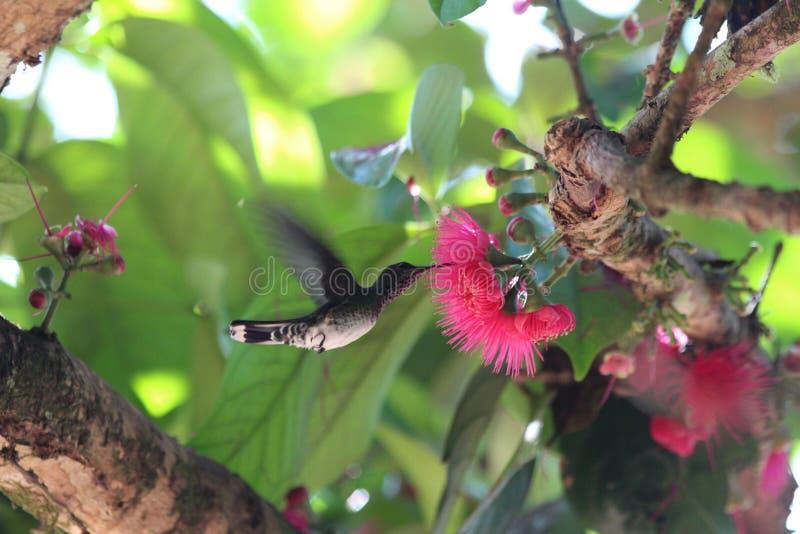 Колибри Коста-Рика стоковые фото