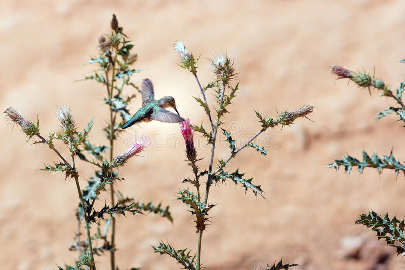 Колибри на thistle Аризоны цветка (arizonicum Cirsium) Bry стоковые изображения rf