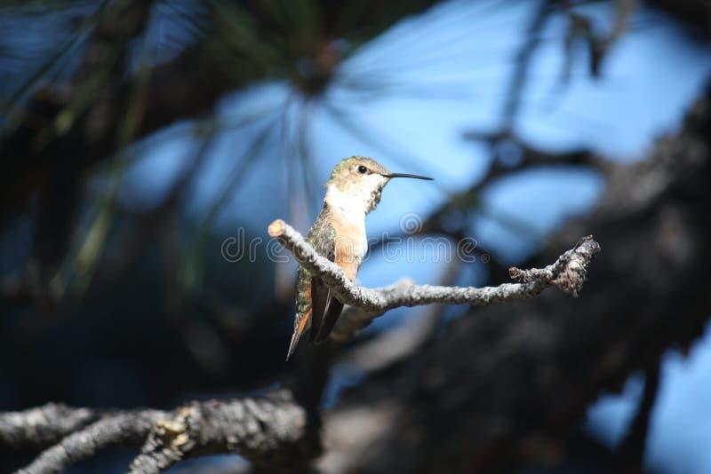 Колибри садить на насест на ветви дерева стоковое фото