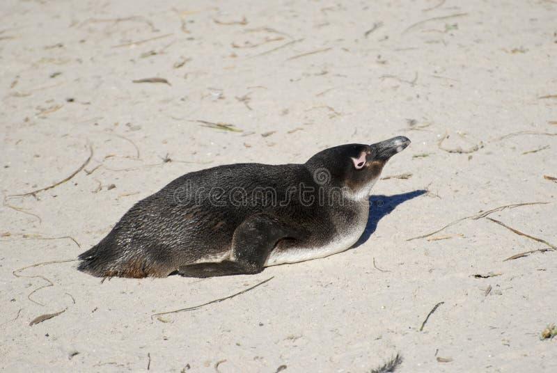 Колония африканских пингвинов Jackass стоковое изображение