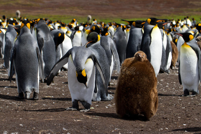 Колония короля пингвина с цыпленоком стоковые фото