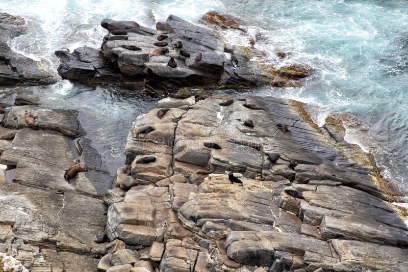 Колония морского котика Новой Зеландии стоковое изображение rf