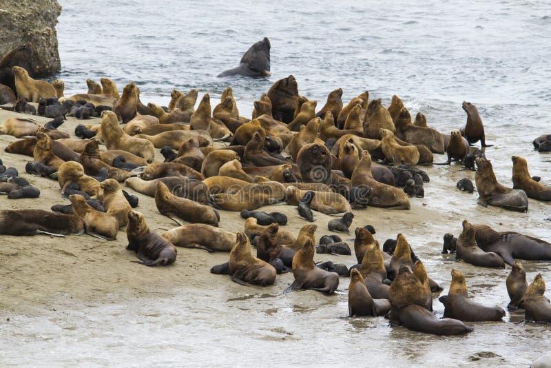 Колония морсого льва стоковая фотография