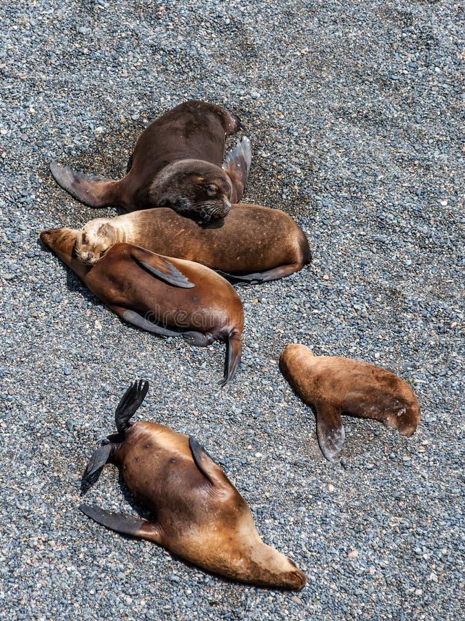 Морсые львы приближают к Puerto Madryn, Argenina стоковые фотографии rf