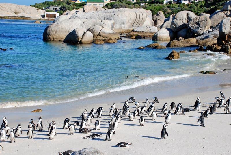 Колония пингвина на пляже океана около Кейптауна стоковая фотография