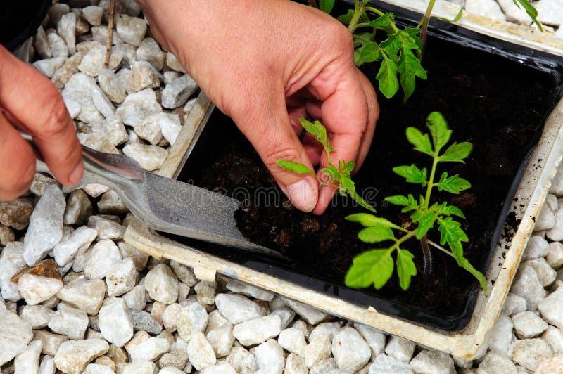 Колоть вне саженцы томата стоковое изображение