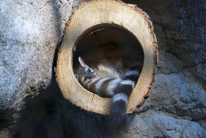 Кольц-замкнутый кот спать в стволе дерева стоковое фото