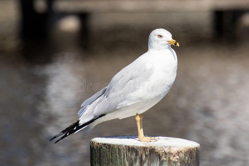 Кольц-представленная счет чайка стоковые фото