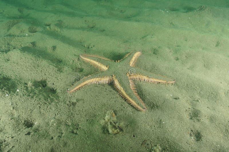 Колючая морская звезда стоковое фото