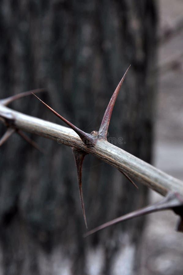 Колючки на ветви стоковое фото