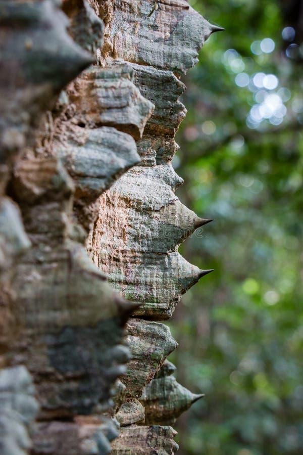 Колючки на хоботе индийского дерева руты плюща стоковое фото rf