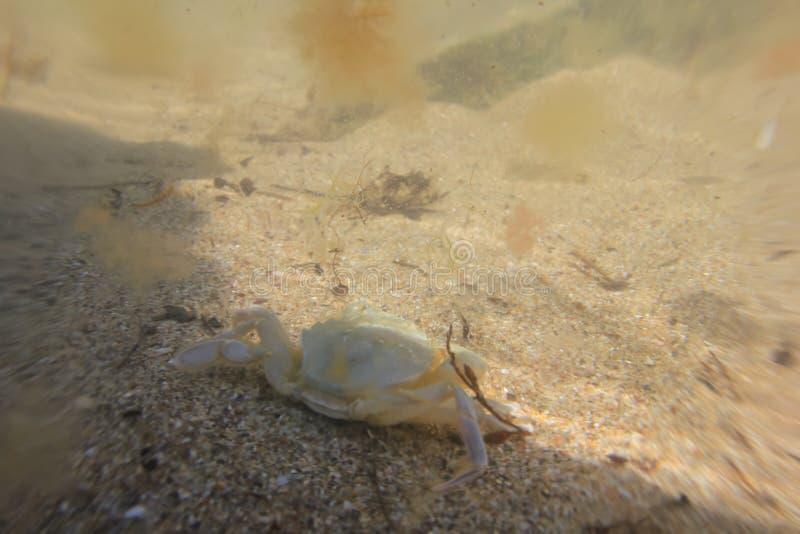 Крабы моря идут вдоль песочного дна моря стоковые фотографии rf