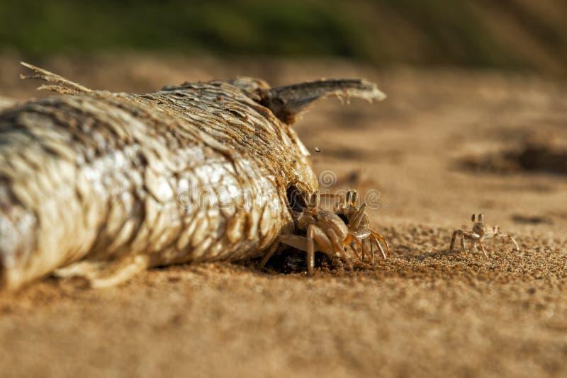 Крабы на пляже есть мертвых рыб стоковые фотографии rf