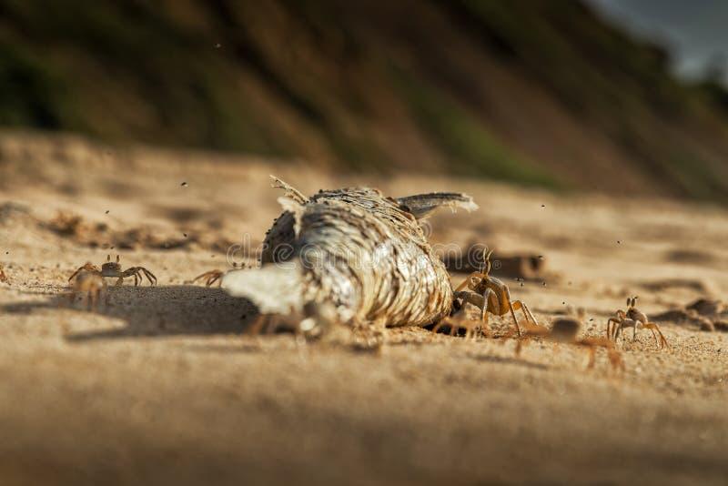 Крабы на пляже есть мертвых рыб стоковые изображения rf