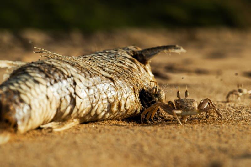 Крабы на пляже есть мертвых рыб стоковая фотография rf