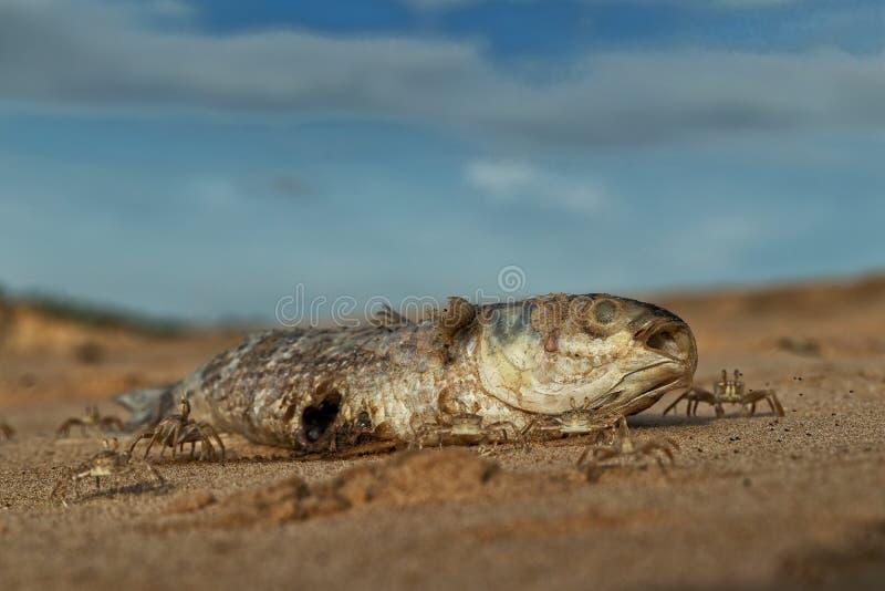 Крабы на пляже есть мертвых рыб стоковое изображение