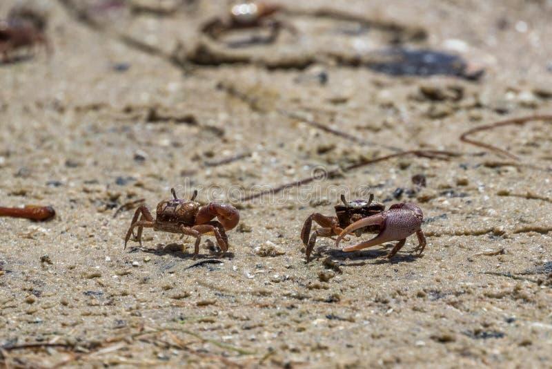 Крабы скрипача песка, j n Живая природа Refu милочки звона национальная стоковые фотографии rf