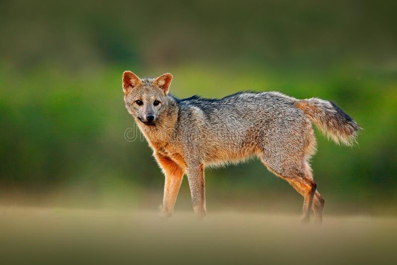 Краб-еда лисы, Вы Cerdocyon, лисы леса, деревянной лисы или Maikong Дикая собака в среду обитания природы Портрет вечера стороны  стоковое фото rf