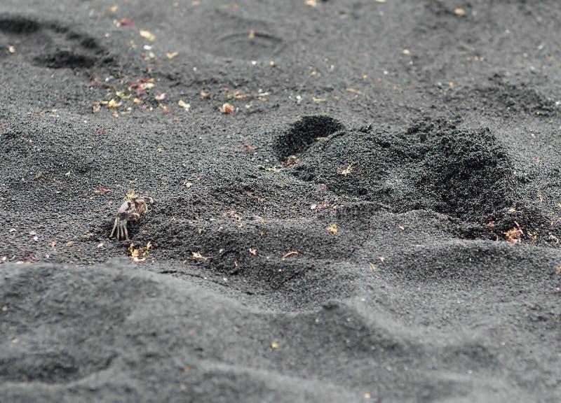 Краб на черном вулканическом песке в острове Гаваи большом стоковые фотографии rf
