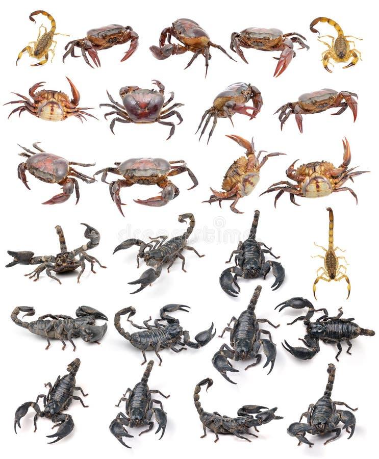 Краб скорпиона изолированный на белой предпосылке стоковые фото