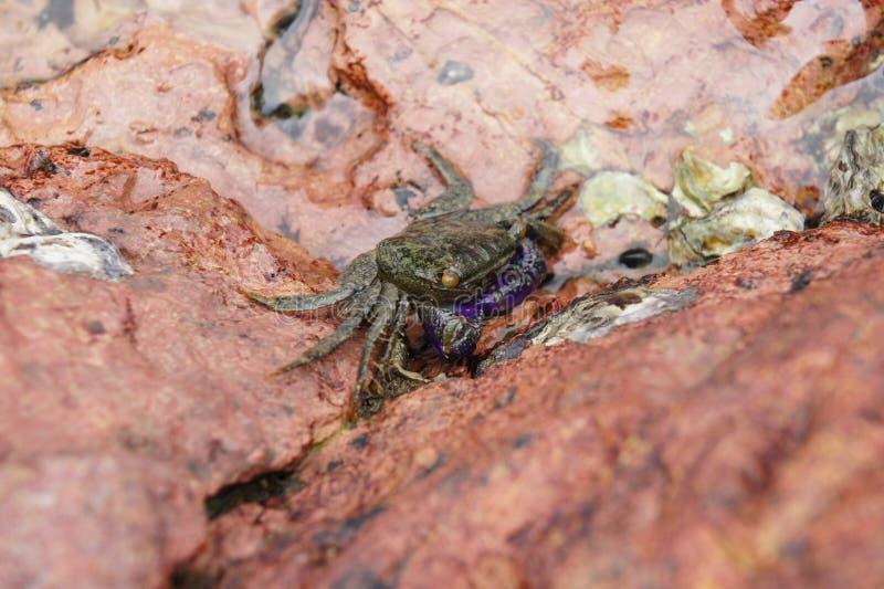 Краб с фиолетовой рукой в реке стоковая фотография