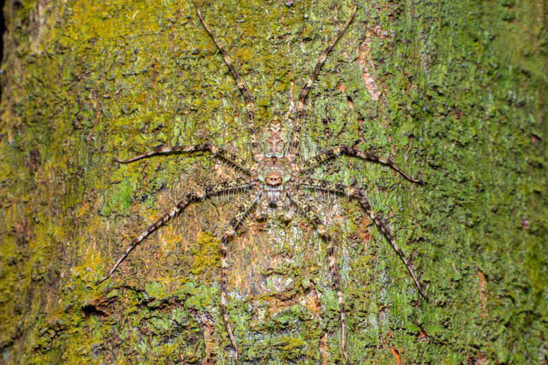 Крайность и близкий взгляд паука Pandercetes охотника лишайника gracilis стоковые фото