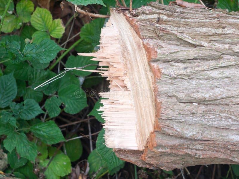 Край острой неровной прерванной хирургии дерева пня ствола дерева деревянной стоковые фото