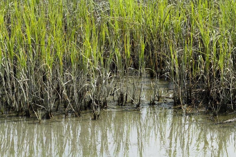 Край Cordgrass и грязи в Brackish воде стоковые фото