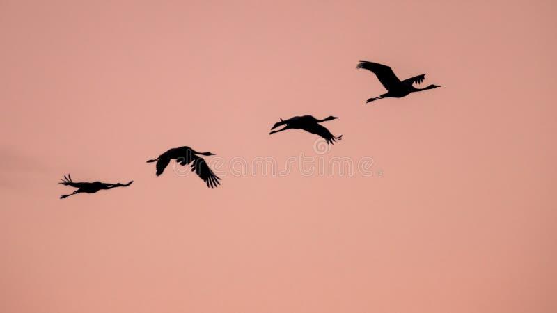 4 крана eurasian проникать летая против розового неба стоковое изображение rf