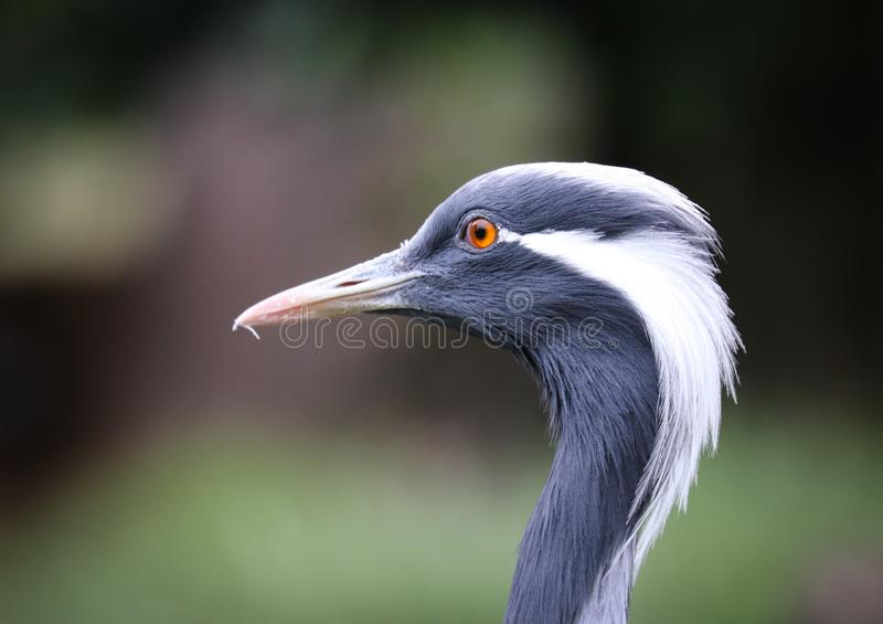 Краны семья, Gruidae, больших, длинн-шагающих, и длинн-necked птиц в журавлеобразные группы стоковые изображения