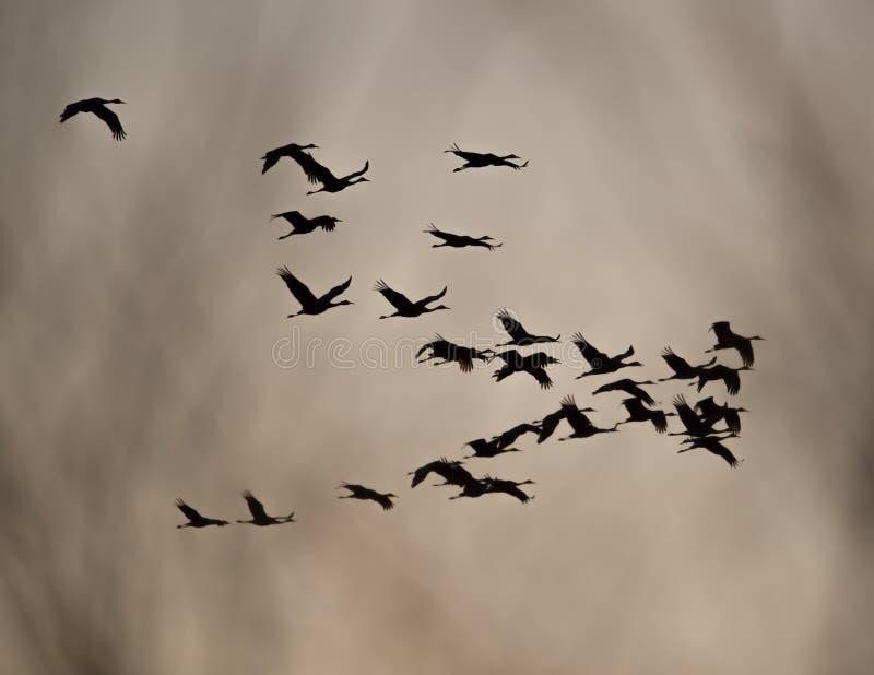 Краны Sandhill в силуэте полета подсвеченном на сумраке/заходе солнца во время миграций падения на зоне живой природы лугов Crex  стоковое изображение rf