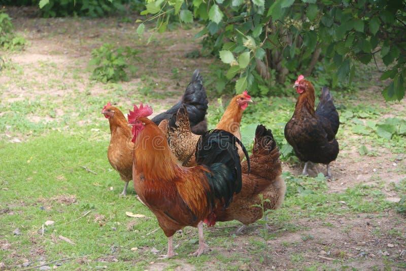 Кран и курицы стоковые фото