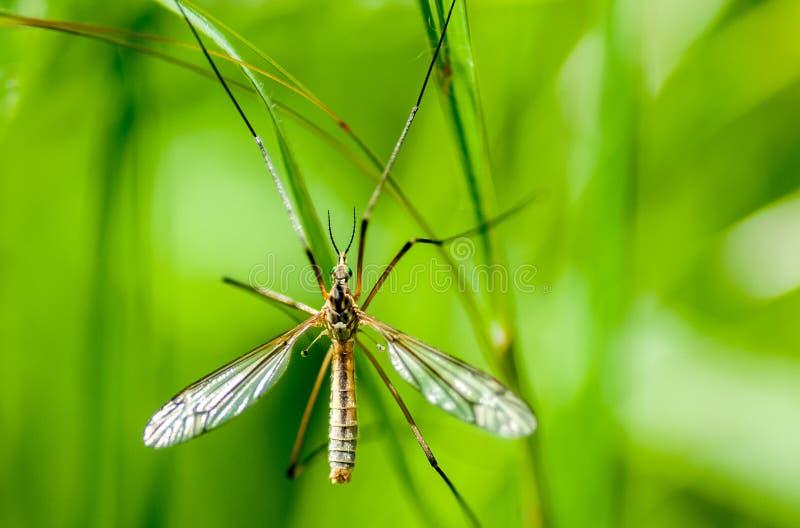 Кран-муха портрета насекомого стоковое изображение
