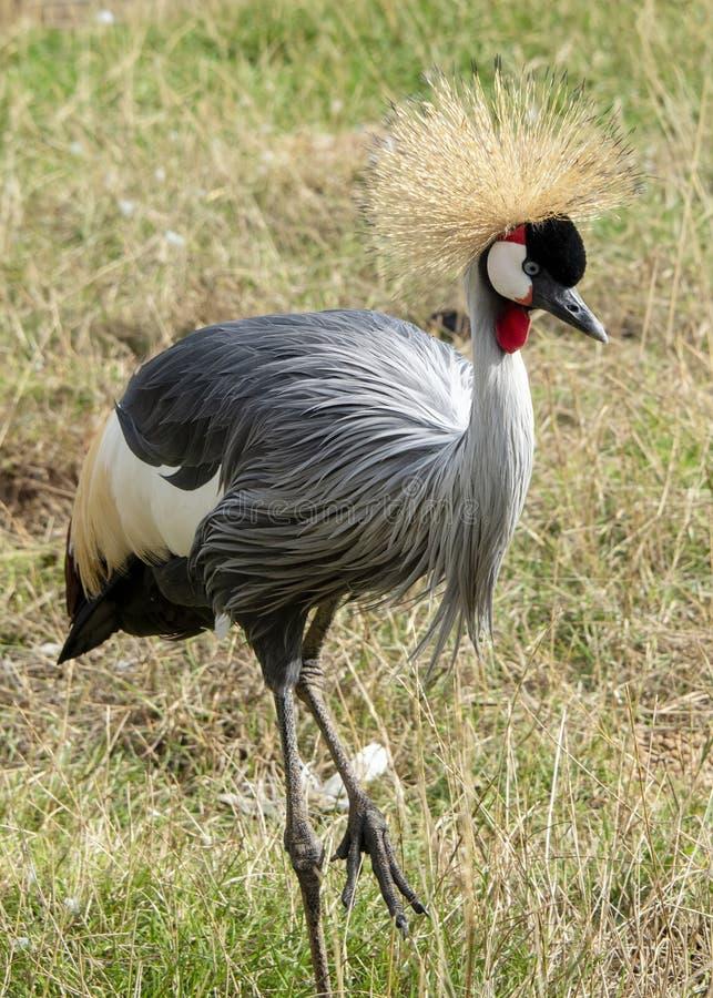 Кран увенчанный серым цветом также известный как угандиец crested кран стоковые изображения rf