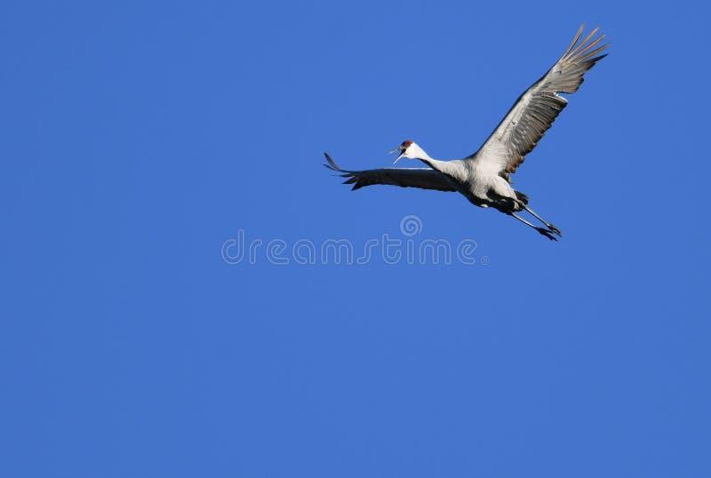 Кран Sandhill летая высоко выше стоковые фото