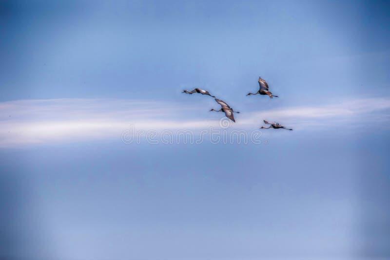 Кран Wattled летания, carunculatus Bugeranus, национальный парк Moremi, Ботсвана стоковое фото